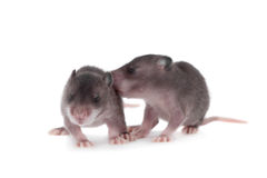 Gambian pouched rat, 3 week old, on white Stock Photo