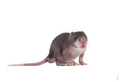 Gambian pouched rat, 3 week old, on white Stock Image