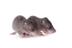 Gambian pouched rat, 3 week old, on white Royalty Free Stock Photo