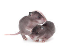 Gambian pouched rat, 3 week old, on white Royalty Free Stock Photos