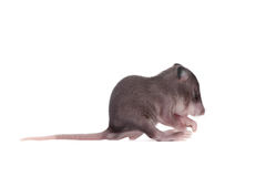Gambian pouched rat, 3 week old, on white Royalty Free Stock Images