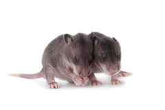 Gambian pouched rat, 3 week old, on white Stock Photos