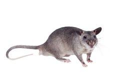 Gambiano pouched o rato, bebê de três meses, no branco foto de stock