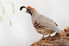 Gamble's Quail. Full Side Profile of Adult Male Gamble's Quail Standing on Old Cholla Cactus Stump Stock Photos