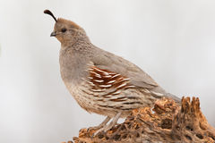 Gamble's Quail. Full Side Profile of Adult Female Gamble's Quail Standing on Old Cholla Cactus Stump Royalty Free Stock Images