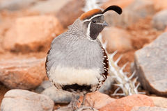 Gamble's Quail Stock Images
