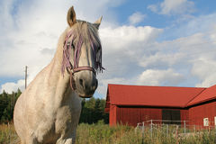 Gambler the horse Royalty Free Stock Photography
