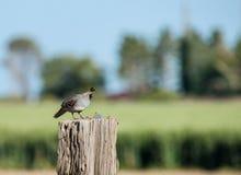Gambles quail on sentry duty Stock Photo