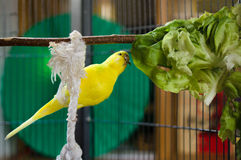 Gambling budgie. Yellow budgie plaing with his salad Royalty Free Stock Image