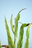 Gambo del cereale contro l'azzurro Immagini Stock Libere da Diritti