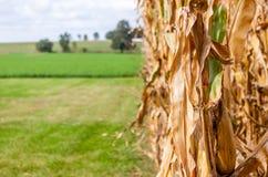 Gambo del cereale su un'azienda agricola Fotografie Stock