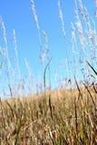 Gambo dell'erba del grano Immagine Stock Libera da Diritti