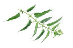 Gambo dell'ortica con le foglie isolate Immagine Stock