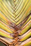 Gambo della banana Fotografie Stock