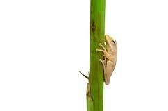 Gambo della pianta della holding della rana Immagini Stock