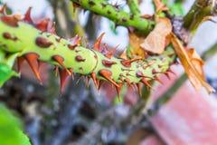 Gambo della rosa di verde con le spine marroni Immagine Stock