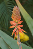 Gambo di fiore dell'aloe Fotografie Stock Libere da Diritti