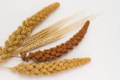 Gambo due di grano, di un miglio giallo di due ramoscelli e di un miglio rosso Fotografie Stock