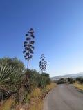 Gambo e flowerheads asciutti dell'agave Fotografia Stock