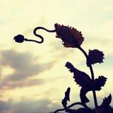 Gambo piegato del seme di papavero Campo di sera delle teste del papavero Fotografie Stock Libere da Diritti