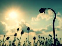 Gambo piegato del seme di papavero Campo di sera delle teste del papavero I fiori asciutti stanno aspettando la raccolta Immagini Stock