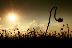 Gambo piegato del seme di papavero Campo di sera delle teste del papavero I fiori asciutti stanno aspettando la raccolta Fotografie Stock