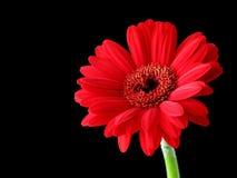 Gambo rosso di verde della margherita Fotografia Stock