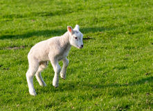 Gambolling lamb. Spring lamb jumping in field royalty free stock images