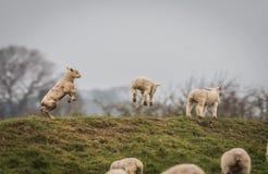 Gambolling lamm mycket av glädjerna av våren royaltyfria foton