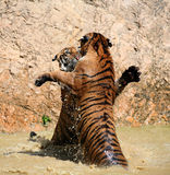 The game the big tigers in the lake, Thailand Stock Photography