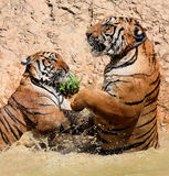 The game the big tigers in the lake, Thailand Stock Image