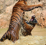 The game the big tigers in the lake, Thailand Royalty Free Stock Photos