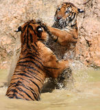 The game the big tigers, Thailand Stock Images