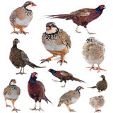 Game birds Stock Photo