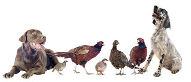 Game birds and hunting dogs. In front of white background stock image