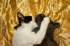 The game of a black and white kitten with a gray cat. On a gold veil royalty free stock photos