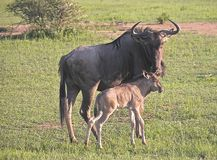 Game Blue Wildebeest and calf. Blue Wildebeest with calf in Africa Stock Photos