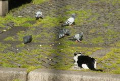 The cat and the pigeons... Stock Images