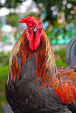 Game-cock Stock Images