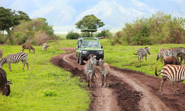 Game drive. Safari car on  with animals around, Ngorongoro crater in Tanzania Stock Images