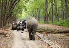 Game drive at Dhikala forest of Jim Corbett. JIM CORBETT, INDIA-May 24: Safari jeeps on game drive watching huge tusker moving in the forest of Dhikala on May 24 Stock Image