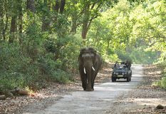 Game drive at Jim Corbett forest. JIM CORBETT, INDIA-MAY 24: A Safari jeep on game drive watching huge tusker moving on the road of Dhikala forest on May 24 Royalty Free Stock Photography