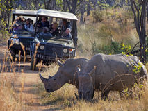 GAME_DRIVE_VEHICLES. Visitors to Welgevonden Game Reserve in South Africa enjoy looking at a pair of white rhinos during a game drive aboard four wheel drive Royalty Free Stock Photography