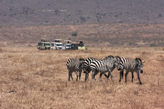 Game drive and Zebras Royalty Free Stock Image