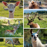 Game farm zoo collage. Olympic Game Farm zoo collage with six photos of northern america animals Stock Images