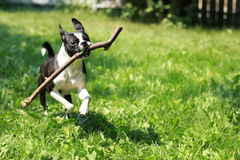 Game of fetch. A moment of pure joy for a puppy stock photos
