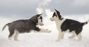 Game on a frost. Two puppies of Siberian Huskies very much love a frost Royalty Free Stock Photo