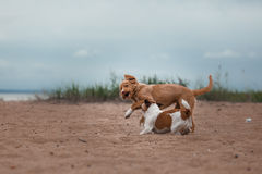 Game Jack Russell Terrier and Toller Royalty Free Stock Photos