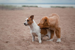 Game Jack Russell Terrier and Toller Royalty Free Stock Image