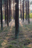Game of light. An interesting game of light and shadows in a pine forest Royalty Free Stock Photos